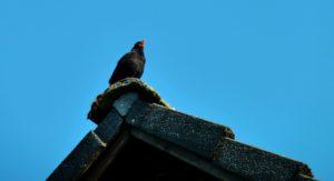 blackbird-2500153_1920