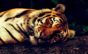 tiger-2530158_1280