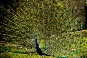 peacock-3063456_1280